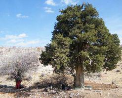 درخت کهنسال یکه درخت