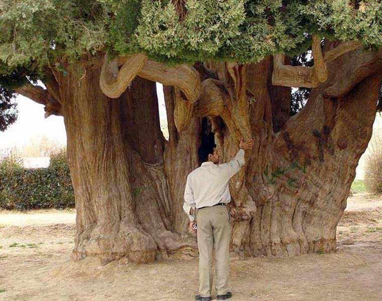 سرو زرتشت (سرو 4500 ساله)