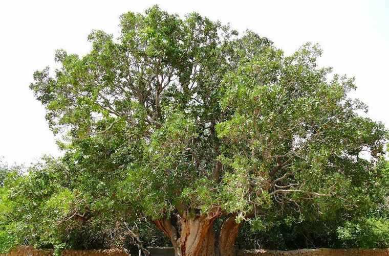 درخت کهنسال پسته رفسنجان