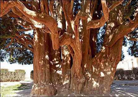 درخت کهنسال بنه بلنجیر