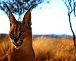 کویر کاراکال، زیستگاه گربه سان زیبای ایرانی