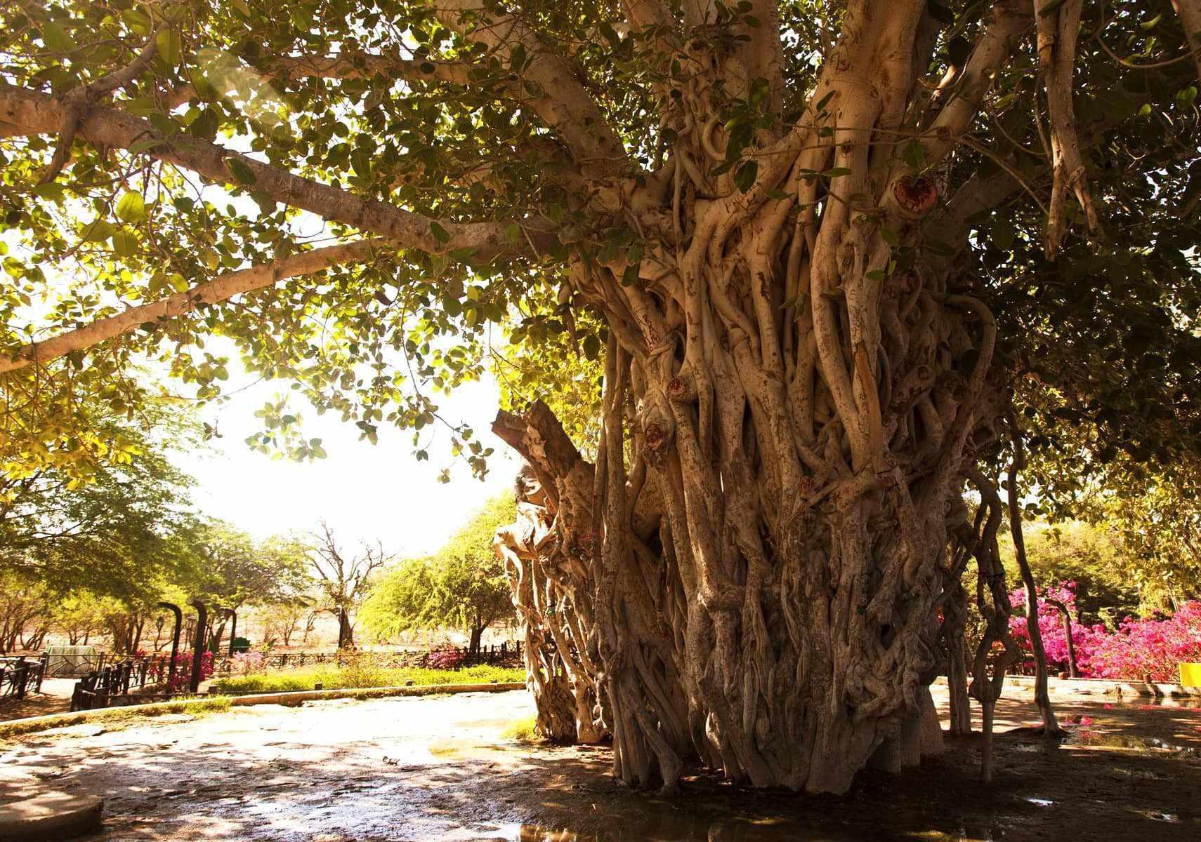انجیر معابد، درخت سبز یا درخت لور در قشم