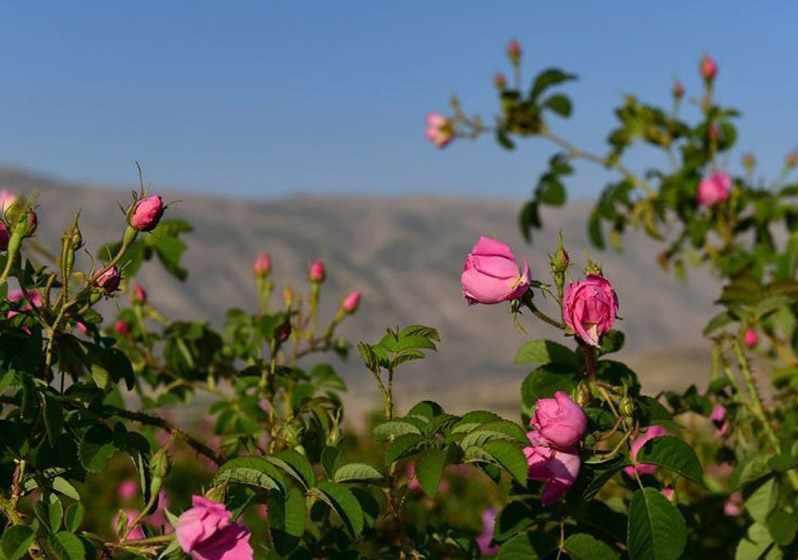 گلستان های محمدی میمند