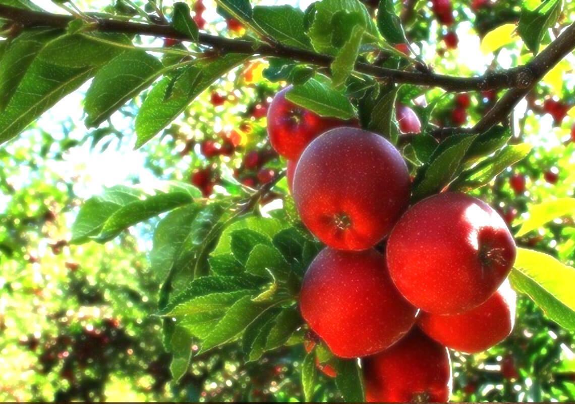 سیب دماوند سوغات تهران